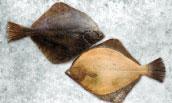 Alaska Plaice (Pleuronectes Quadrituberculatus)