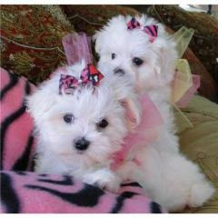 Xmas Teacup Maltese puppies available