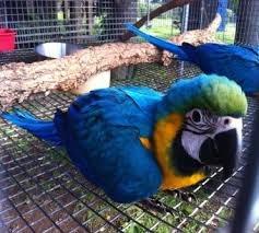 Blauw-en-gele ara