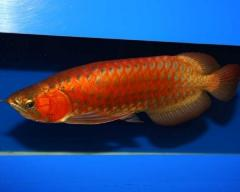 Super Red / Asian Red / Chili Red / 24 K Golden Arowana For Sale
