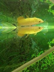 Asian Red / Golden Arowana Fish For Sale.
