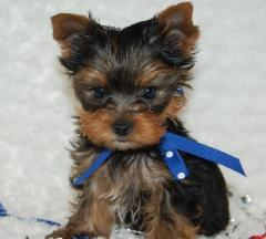 AKC Teacup Yorkie Puppy for free adoption
