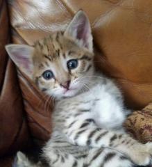 Serval and savannah kittens