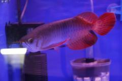 Asian Red,Chili Red, Super red,24 K Golden Arowana  Fish,Diamond stingray Fishes For Sale