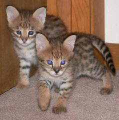 We have beautiful F1 Savannah kittens