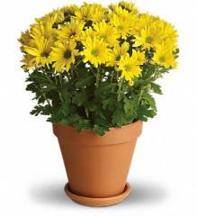 Sweet as a Daisy Chrysanthemums