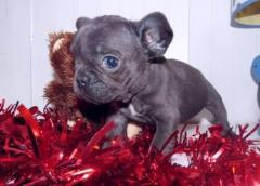 Available Blue French Bulldog puppies