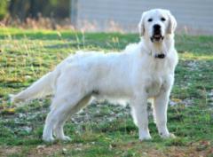 English retrievers california,  cream golden retriever for sale,  christmas white goldens,  english golden retriever,  white golden retriever,  white golden retriever dog