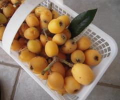 Fresh Loquat