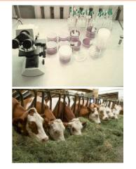 The method of diagnosis of leukosis in cattle by