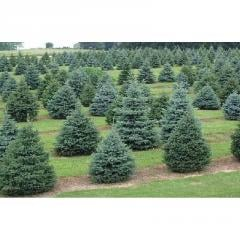 Large & Small Conifer Trees