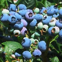 Blueberry 'Elliott'