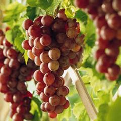 Grape 'Reliance Seedless'