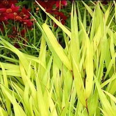 Hakonechloa 'All Gold'  Ornamental Grass