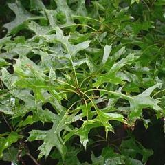 Pin Oak (palustris) Tree