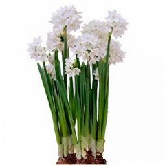 Indoor Paperwhite Narcissus Bulbs
