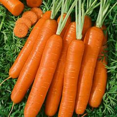 Heirloom Scarlet Nantes Carrot Seeds