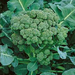 Green Sprouting Broccoli Seeds