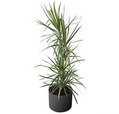 Plants Marginata
