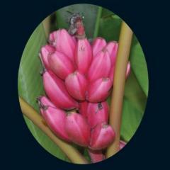 Pink Banana Seeds