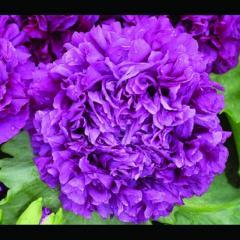 Purple Peony Poppy Seeds