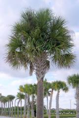 Cabbage Palm - Sabal palmetto