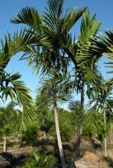 Aalexander Palm - Ptychosperma elegans