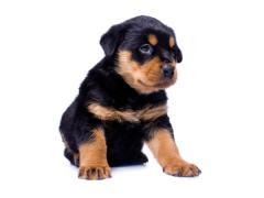 Cachorros de los perros rottweiler