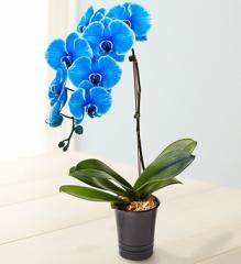 Beautiful Blue Phalaenopsis Orchid