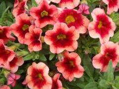 Superbells® Coralberry Punch Calibrachoa hybrid