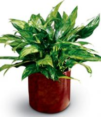 Plant, Chinese Evergreen