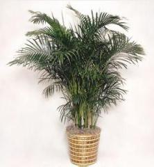 Palmy pokojowe