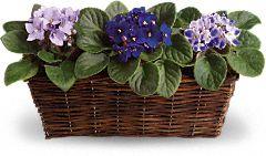 Sweet Violet Trio