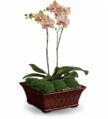 Divine Orchid