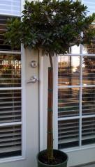 Brilliant Azalea Topiary Five Gallon Tree
