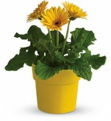 Rainbow Rays Potted Gerbera - Yellow