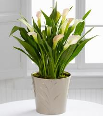 The FTD® Silver Linings Calla Lily Plant by Better