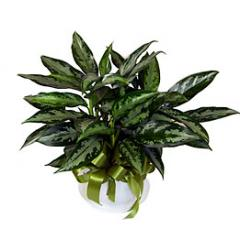 McShan Chinese Evergreen Plant