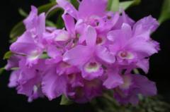 C. skinneri `Waldor' AM/AOS Cattleya Orchids