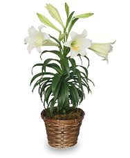 Lily Flowering Easter Plant