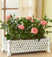 Rose Window Box