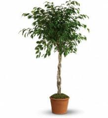 Towering Ficus Plant