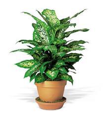 Dieffenbachia Plant, TF135-2