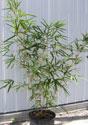 Bamboo, Golden Goddess