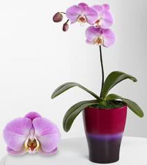 Smithsonian Sweet Sensation Phalaenopsis Orchid