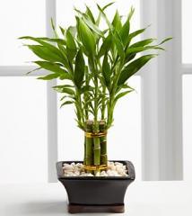 Lucky Bamboo P198