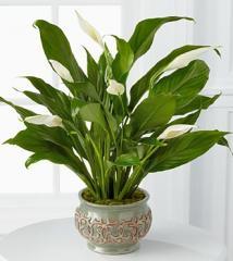 Serene Peace Plant P409
