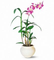 Dendrobium Orchid TF140-1