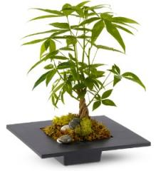 Money Tree Plant TFWEB206