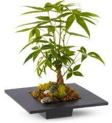 Money Tree Plant TFWEB206